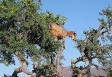 Huile d'argan du Maroc